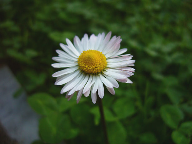 image of a daisy